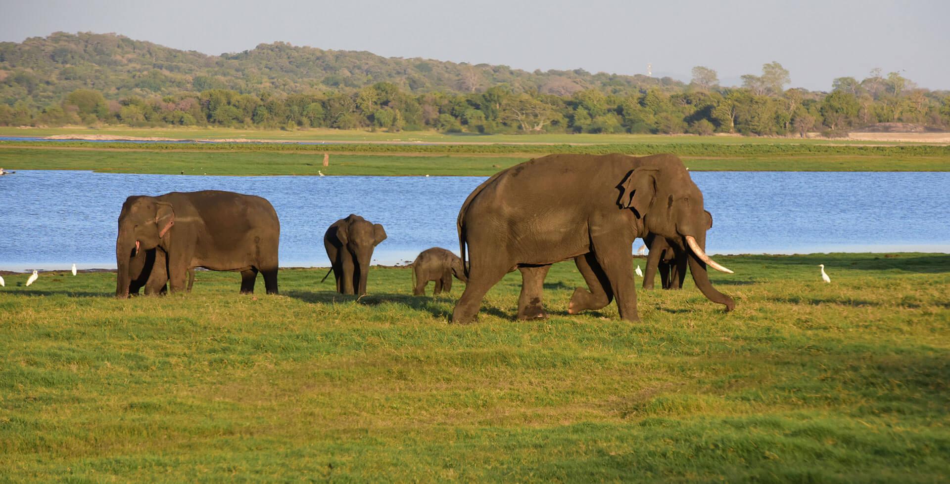 Elephant sri lanka Yala