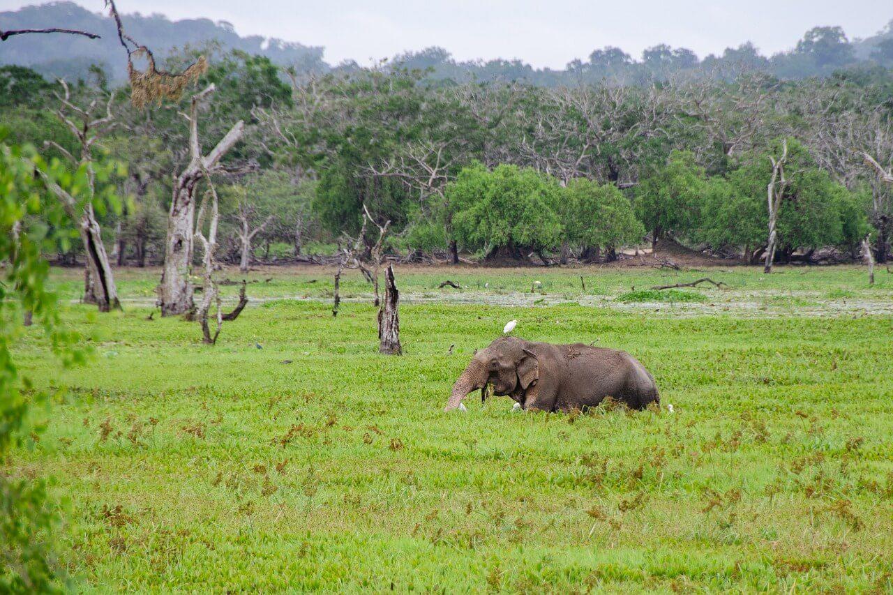 Eléphant Sri lanka